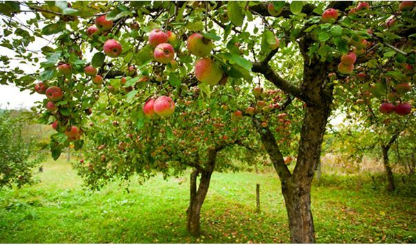 livada pomi fructiferi PNDR